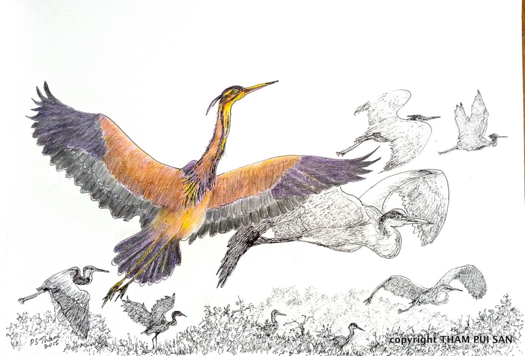 Purple Herons